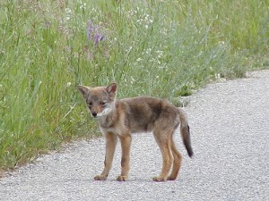 Coyotes in Rowlett, TX